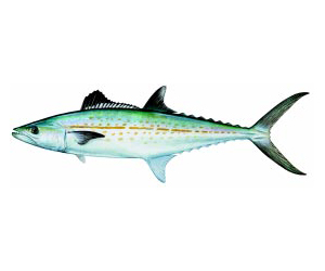 Cero (Cero Mackerel)